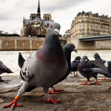 City Pigeons: The Fight to Survive – The Evolution of Planet Earth